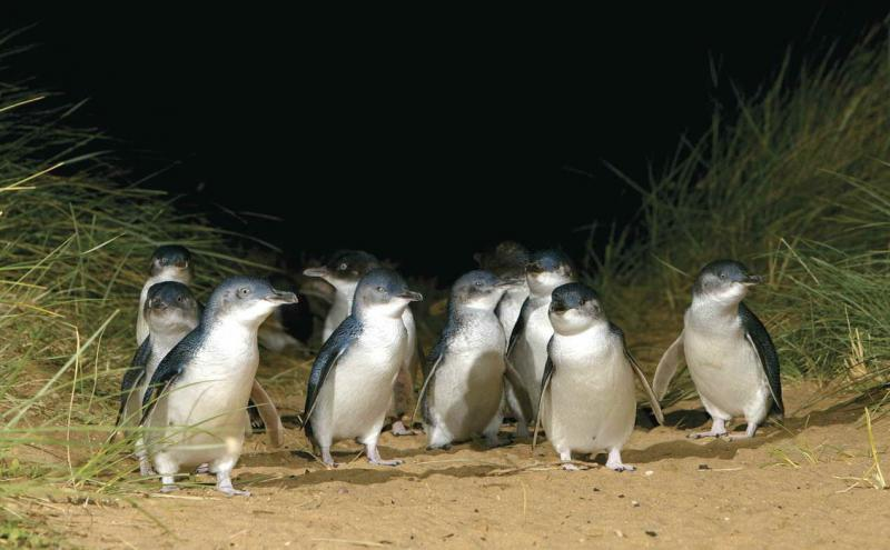 Exciting Australia by Indian Holiday Options | Philip Island Penguins