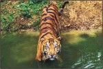 Tiger, Indian Wildlife, Ranthambore National Park, Golden Traingle with Wildlife